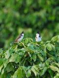 Красный цвет whiskered птицы Bulbul садить на насест на ветви дерева Стоковые Изображения RF