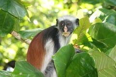 красный цвет zanzibar обезьяны острова Африки Стоковое фото RF