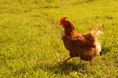Красный цыпленок идет на луг стоковое изображение rf
