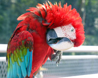Красный черный красочный длиннохвостый попугай попугая Стоковые Изображения RF