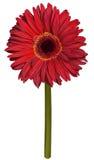 Красный чертеж цветка gerbera Стоковое фото RF