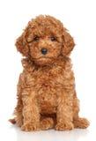 Красный щенок пуделя Стоковое Изображение