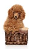 Красный щенок пуделя игрушки в корзине Стоковые Фотографии RF