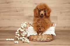 Красный щенок пуделя игрушки в корзине Стоковые Изображения