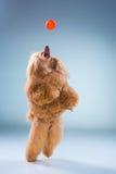 Красный щенок пуделя игрушки играя с шариком на сером цвете Стоковые Фото