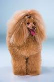 Красный щенок пуделя игрушки на серой предпосылке Стоковое Фото