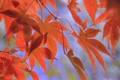 Красный японский клен в осени Словении Стоковая Фотография