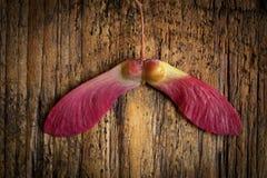 Красный японский клен Стоковая Фотография
