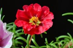 Красный Стоковая Фотография RF
