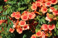 Красный Allamanda в полном цветени стоковое изображение