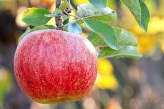 Красный Apple Стоковая Фотография RF
