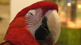 Красный ara попугая видеоматериал