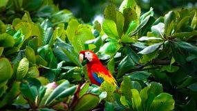 Красный ara сидя в дереве Стоковые Фотографии RF