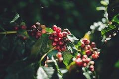 Красный Arabica кофейных зерен вишни в природе стоковые изображения rf