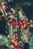 Красный Arabica кофейных зерен вишни в природе стоковое фото rf