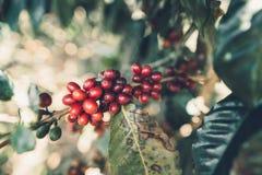 Красный Arabica кофейных зерен вишни в природе стоковая фотография