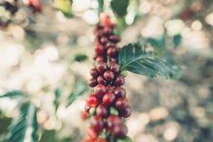 Красный Arabica кофейных зерен вишни в природе стоковые фото