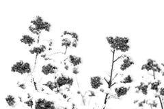 Красный ashberry и белый снег Стоковые Изображения RF