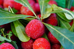 Красный bayberry стоковые изображения