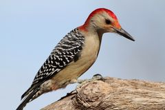 Красный Bellied Woodpecker Стоковые Изображения RF