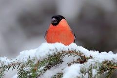 Красный Bullfinch воробьинообразной птицы сидя на ветви снега во время зимы Стоковое Изображение RF