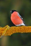 Красный Bullfinch воробьинообразной птицы сидя на желтой ветви лишайника, Sumava, чехии Стоковые Изображения