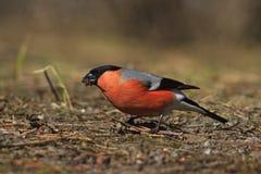 Красный bullfinch птицы ест первую траву весны Стоковые Изображения