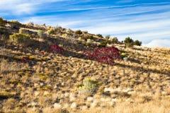 Красный Bush в поле Стоковая Фотография