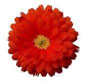 Красный calendula цветка Предпосылка изолированная белизной с путем клиппирования Стоковые Фотографии RF