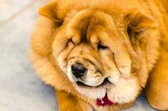Красный Chow Стоковое фото RF