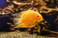 Красный Cichlid альбиносов Латинское имя - severum Cichlasoma плавая под водой в свежем аквариуме Стоковое Изображение RF