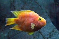 Красный Cichlid попугая Крупный план попугая рыб аквариума красочный Стоковое Изображение RF