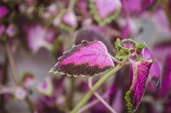 Красный Coleus цветка Стоковые Изображения