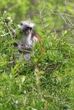 Красный colobus Стоковое фото RF