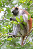 Красный colobus Стоковые Фотографии RF