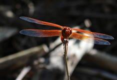 Красный dragonfly над темным концом предпосылки вверх стоковые изображения