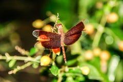 Красный dragonfly на ветви стоковые фотографии rf