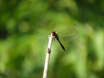 Красный dragonfly на зеленой предпосылке Стоковые Изображения