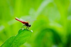 Красный dragonfly на зеленых лист Стоковые Изображения