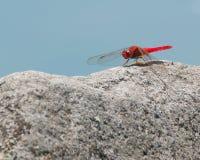 Красный dragonfly на утесе Стоковые Фото