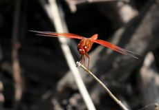 Красный dragonfly на хворостине над темным концом предпосылки вверх стоковое изображение rf