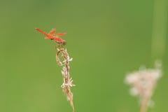 Красный dragonfly отдыхая на заводе Стоковые Изображения RF
