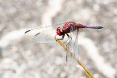 Красный dragonfly с распространенными крылами близко вверх по отдыхать на ручке Стоковая Фотография RF