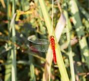 Красный dragonfly Стоковое Изображение