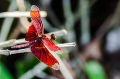 Красный Dragonfly Стоковые Изображения