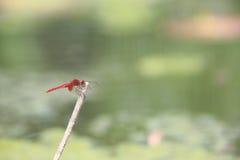 Красный dragonfly Стоковая Фотография RF