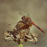 Красный Dragonfly Стоковые Фото