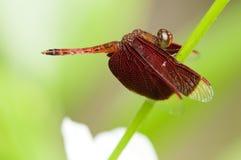 Красный dragonfly Стоковая Фотография
