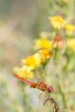 Красный dragonfly Стоковое Фото