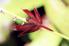 Красный Dragonfly 1 стоковые изображения